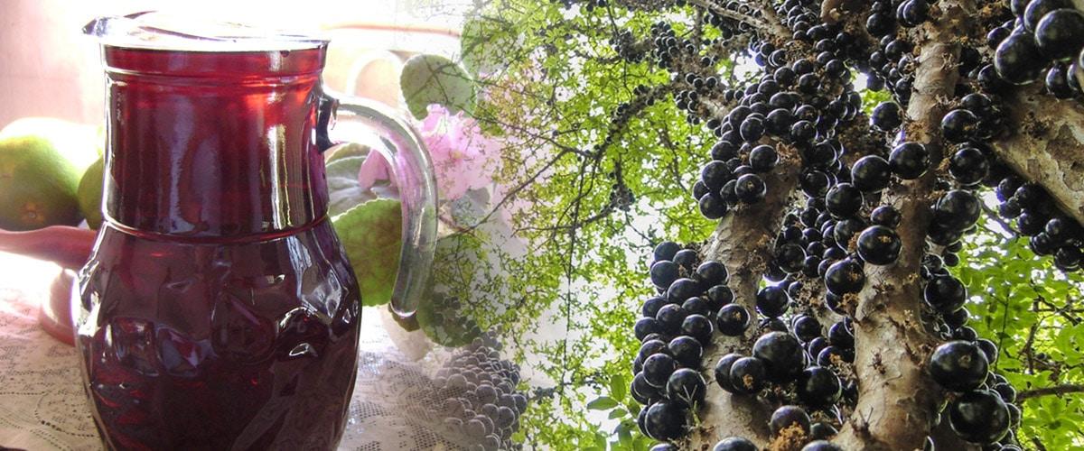 Como produzir um Licor de Jabuticaba Perfeito